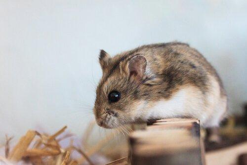 O ciclo de vida dos hamsters