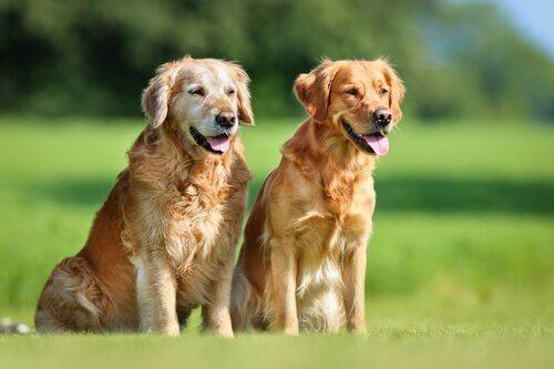 Brucelose canina: saiba mais sobre essa doença