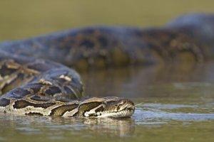 Cobra na água