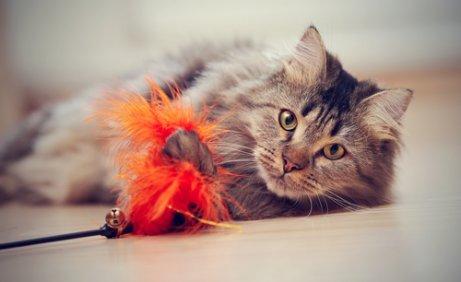 Como adestrar seu gato