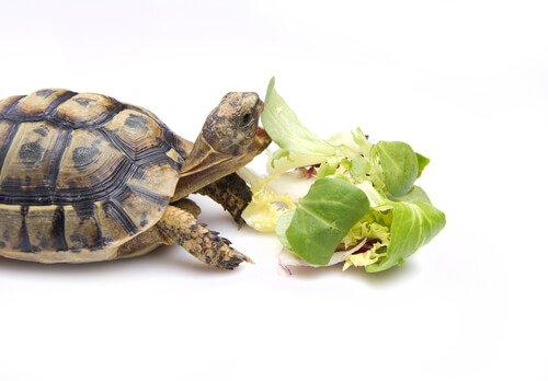 Como você deve alimentar uma tartaruga?