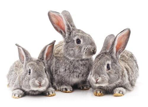 coelhos gris
