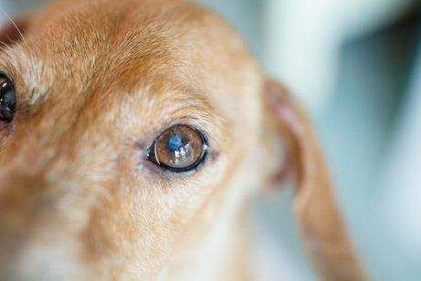 Close-up do olho de um cachorro