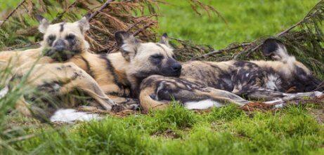Comportamento do cão selvagem africano