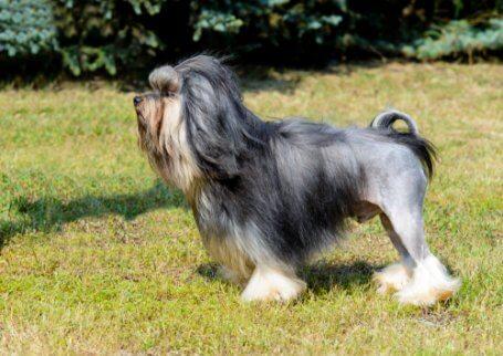 Comportamento do löwchen: o pequeno cão leão