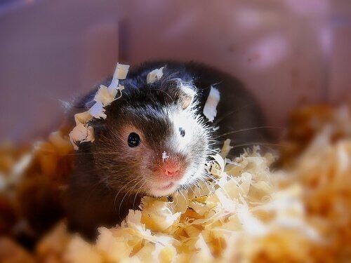 Substratos para gaiolas de roedores: saiba mais