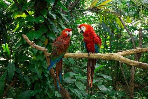 Araras vermelhas na natureza