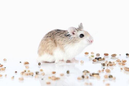 espécies de hamsters anão