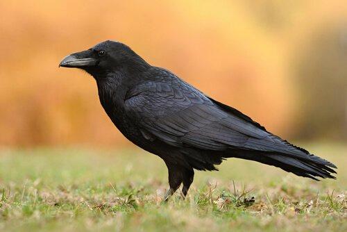 5 espécies de corvos
