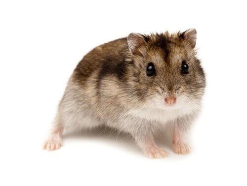 espécies de hamsters