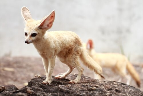 O feneco ou raposa do deserto