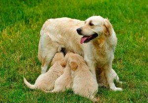 Citologia vaginal em cadelas: um exame importante