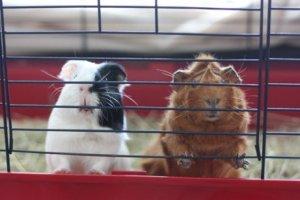 Saiba como melhorar a gaiola de um porquinho-da-índia
