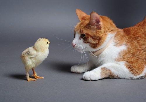 gato e pintinho