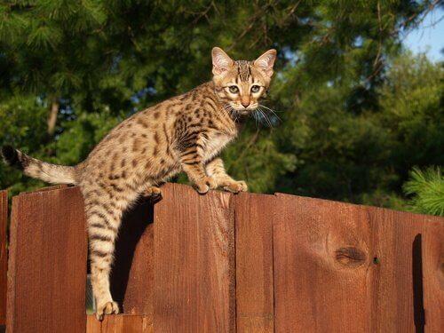 Filhote de gato Savannah