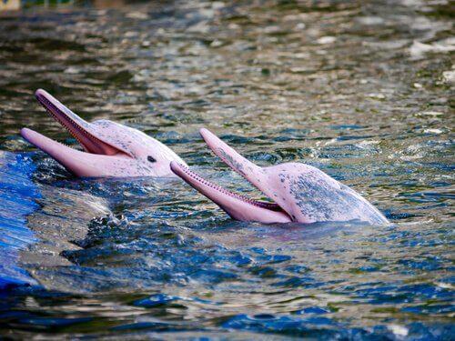 O curioso golfinho rosa do Amazonas