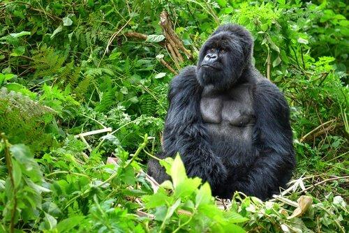 O gorila da montanha, um primata único