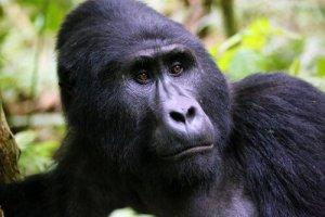 gorila da montanha