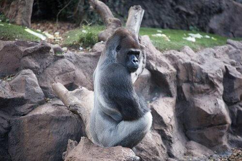 gorila ocidental habitat