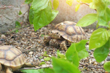 Habitat da tartaruga africana