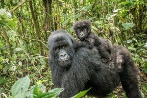 habitat gorila da montanha