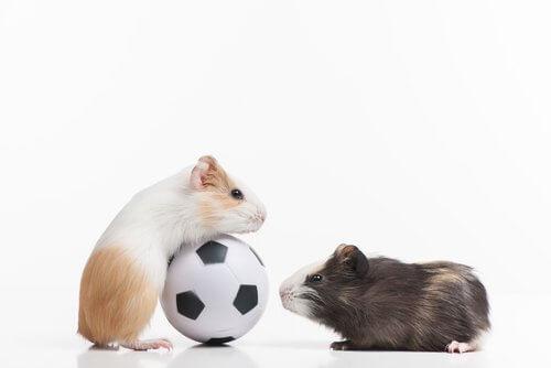 hamster brincando com bola