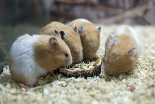 hamsters comendo