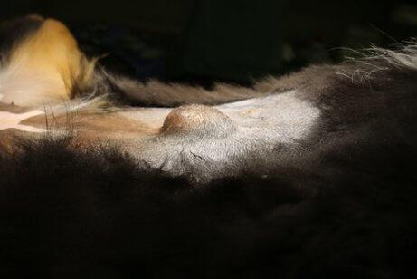 Hérnia umbilical em um cão