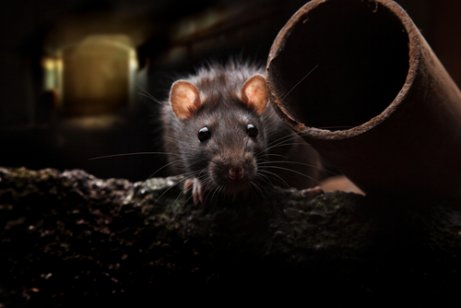 Infestação de ratos