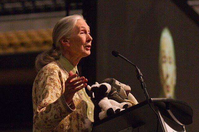 Jane Goodall: grande defensora dos primatas