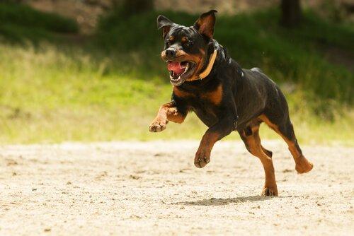 Adestramento profissional dos cães da raça rottweiler