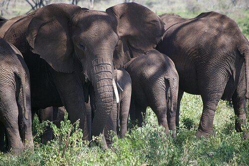 manada de elefantes
