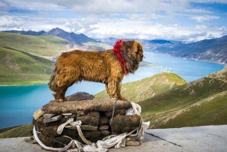 Mastim tibetano nas montanhas