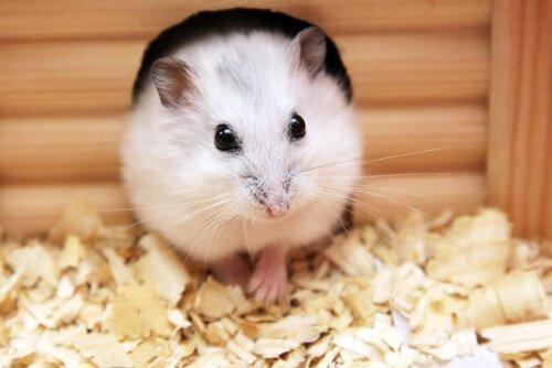 melhorar a gaiola hamsters