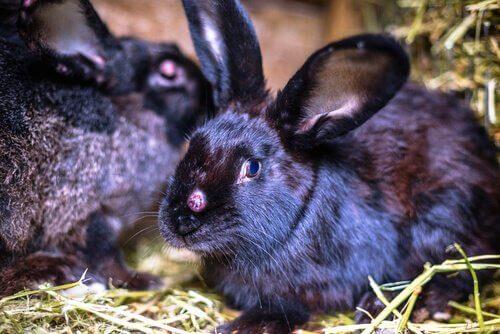 O vírus do mixoma: letal para coelhos