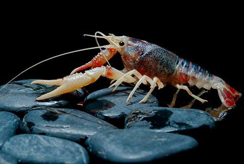 muda de pele crustáceos