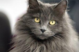 nomes para gatos de pelos longos