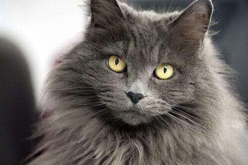 Doze nomes para gatos de pelos longos
