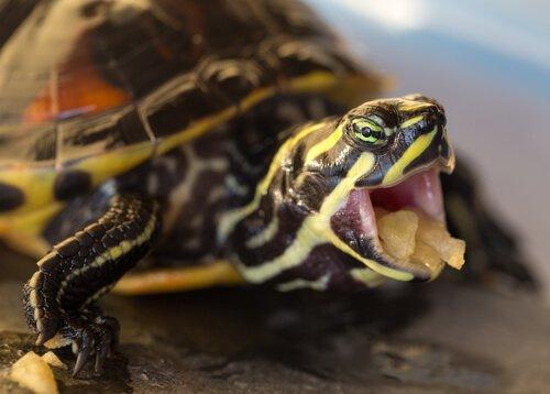comida da tartaruga