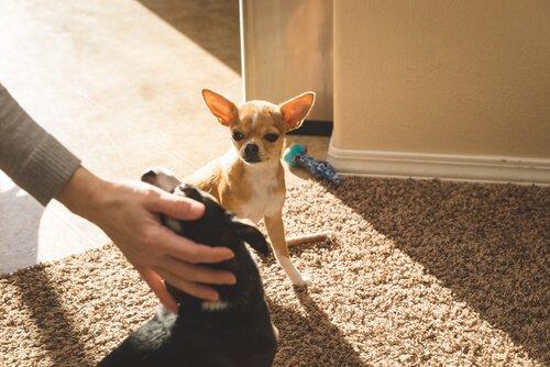 Os cães são capazes de sentir ciúmes?