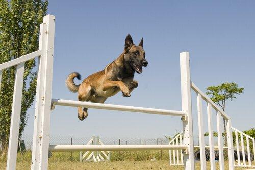 esportes caninos