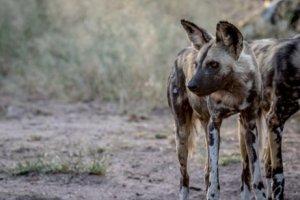 O cão selvagem africano em perigo de extinção