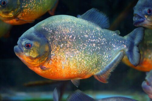 Piranha de barriga vermelha
