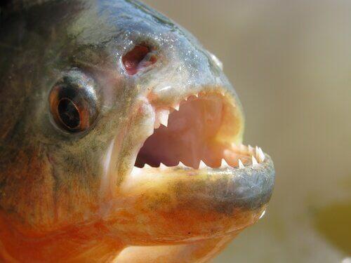 A piranha: conheça esse temido peixe