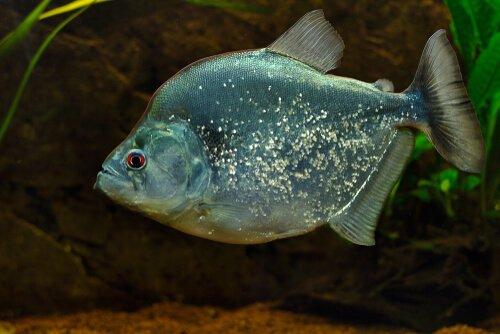 Piranha prateada