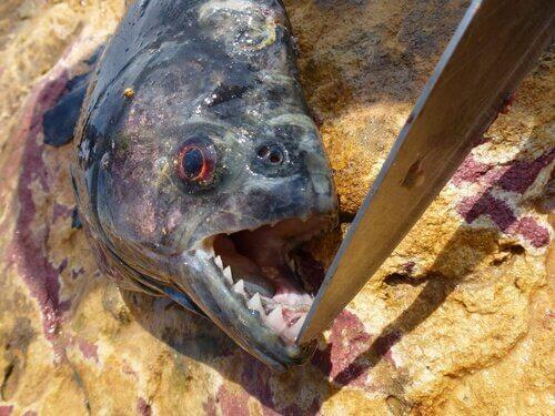 Piranha morta