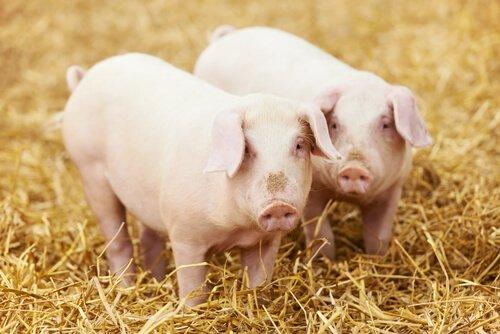 porcos comendo