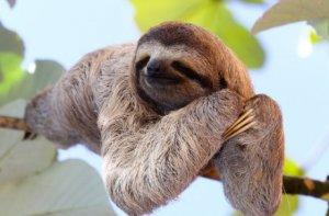 preguiça em sua árvore