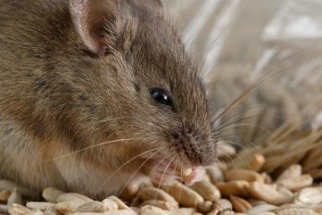 Como combater uma infestação de ratos?