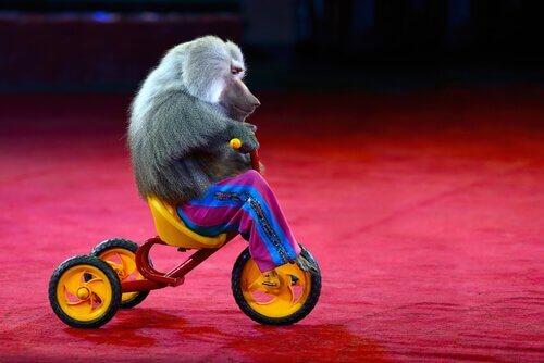 Macaco andando de triciclo em circo